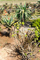 The House of Aloes is located in the heart of Aloe ferox country: Albertinia, South Africa.
