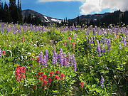 Hiking in fields of lupine and Indian Paintbrush flowers at Berkeley Park, Mount Rainier National Park, Washington, USA. Lupinus is a genus in the pea family (also called the legume, bean, or pulse family, Latin name Fabaceae or Leguminosae).