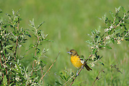 Female Baltimore Oriole hanging out in some bushes at a local nature center.