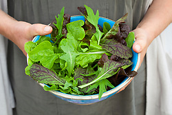 Organic salad collection in turquoise bowl including Lettuce 'Green Oak Leaf', L. 'Solix', Mizuna, Red Giant Mustard and Salad rocket