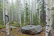 Mixed aspen and pine forest on a misty morning in the Lost Creek Wilderness, Colorado.