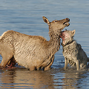 Cow elk (Cervus canadensis) and gray wolf (Canis lupus) predation scene. A cow elk gets taken down, falling  into the waters of Alum Creek in the death grip of a member of the Hayden Valley wolf pack. Yellowstone National Park, Wyoming