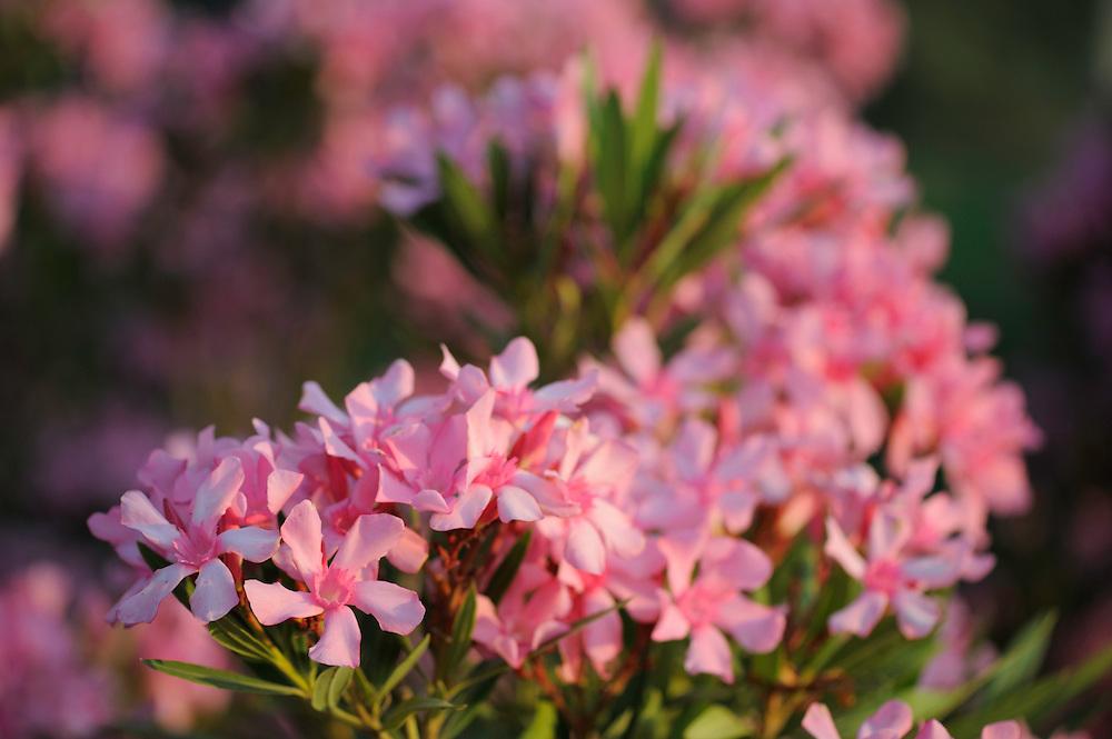 Olander in flower (Nerium Oleander)<br /> Aggius, Sardinia, Italy