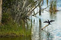 Because anhingas don't have the oil glands found in other aquatic birds like ducks, gulls, swans, etc, when they come out of the water, they will need to dry their wings in order to fly. The advantage of not having this seeming important oil so essential to buoyancy is that when underwater, the anhinga becomes an extremely fast and agile swimmer and a very efficient fish hunter. Throughout the Gulf Coast, this is a very typical sight: an anhinga perched above water,  wings spread drying in the wind and heat. This one was photographed in the middle of Fort Myers, Florida.