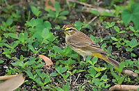This fast little warbler was seen in the Florida Everglades foraging along the edge of a pond.