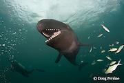 false killer whale, Pseudorca crassidens, and diver
