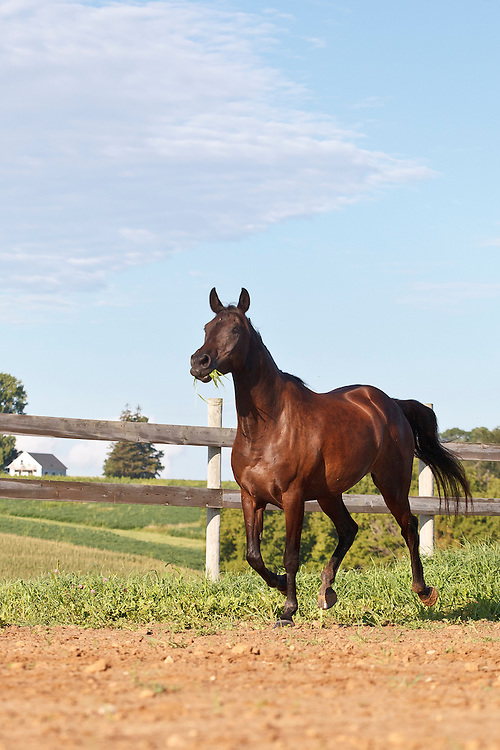 Brown Arabian horse running with grass in mouth vertical