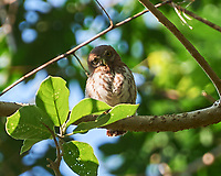 Northern Pygmy-Owl (Glaucidium gnoma). Image taken with a Nikon D3s camera and 70-300 mm VR lens.