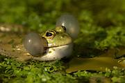 Marsh Frog (Rana ridibunda) British Wildlife Centre, UK, calling with air sacks inflated, croaking,