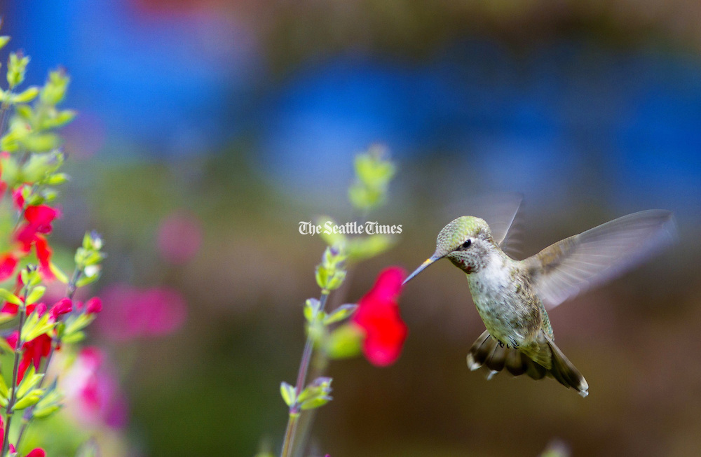 A hummingbird grabs a snack from a garden flower. (Mike Siegel / The Seattle Times)