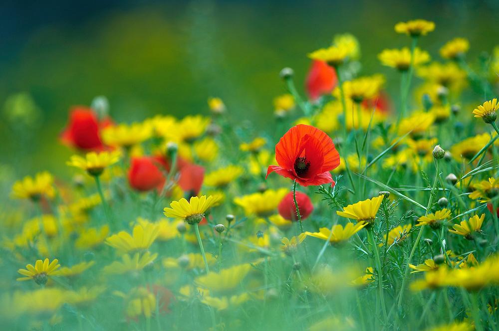 A meadow with Field Poppys (Papaver rhoeas)  and Crown Daisys (Chrysanthemum coronarium) Limassol, Northern Cyprus