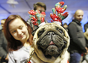 Dec. 26, 2015 - Kiev, ukraine - <br /> <br /> Christmas Pug Party In Kiev<br /> <br /> A pug dressed in a tea service costume during the ''The Christmas pug-party'' parade,during which the jury chose the most elegant Christmas pug, in Kiev,Ukraine,26 December,2015. <br /> ©Exclusivepix Media