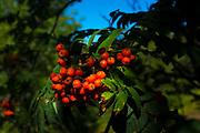Rowan, sorbus, mountain ash berries Canigou mountain, Vernet Les Bains