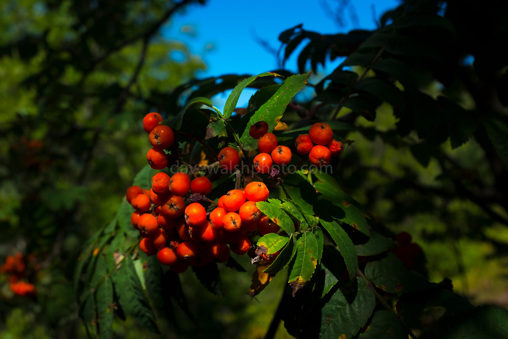 Rowan, sorbus, mountain ash berries Canigou mountain, Vernet Les Bains