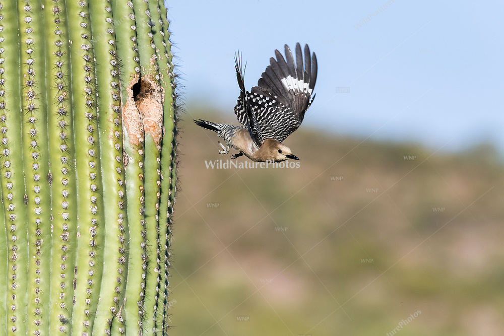 A female Gila Woodpecker (Melanerpes uropygialis) flies out of her nest in a Saguaro (Carnegiea gigantea). Arizona