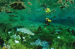 Oncorhynchus mykiss, Regenbogenforelle und Taucher im Grünen See, Österreich, Rainbow trout