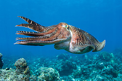 Broadclub Cuttlefish, Sepia latimanus, Paradise Island, Palawan Sea, Philippines, Pacific Ocean