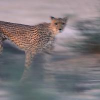 South Africa, Kgalagadi Transfrontier Park, Blurred cheetah (Acinonyx jubatas) walks along dry riverbed at dusk in Kalahari Desert