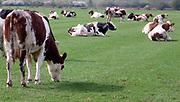 Nederland, Ooijpolder, 20-5-2020  Koeien, in de wei bij het dorpje Persingen in de ooijpolder.Foto: Flip Franssen