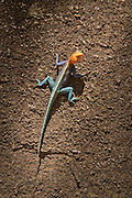 An adult male Red-headed Rock Agama (Agama agama) in Matobo National Park, part of the Motopos Hiils area in Zimbabwe. The park is an U.N. UNESCO World Hertiage Site. © Michael Durham / www.DurmPhoto.com