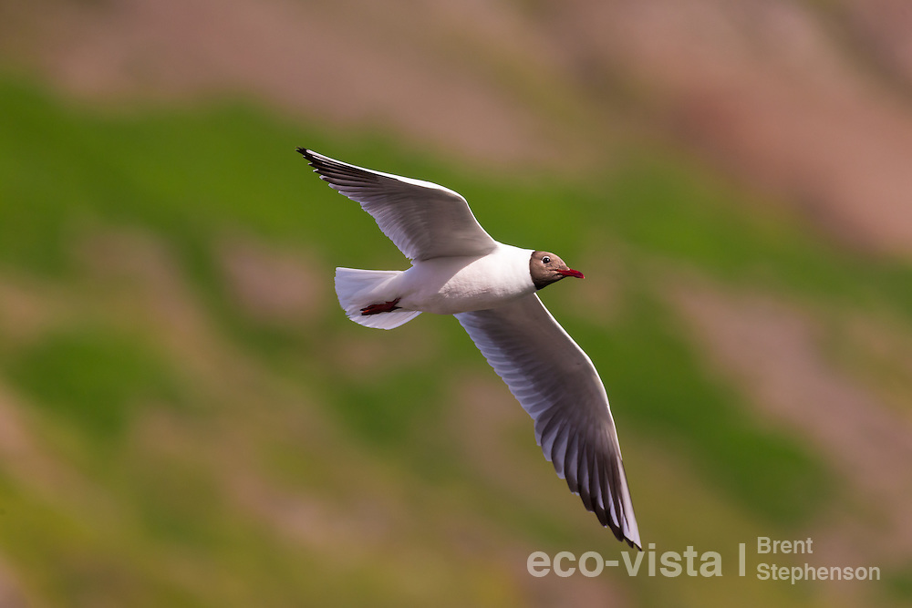 An adult black-headed gull (Larus ridibundus) in breeding plumage flies against a green background whilst feeding over water. Siglufjordur, Iceland. July.