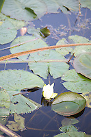 Water lily in a pond in Wicklow Ireland