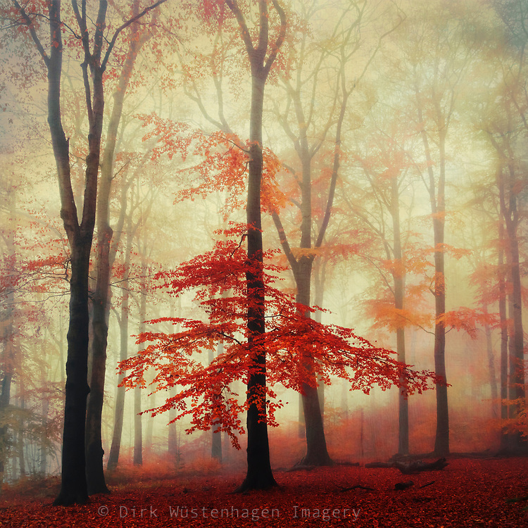 Beech tree with red fall foliage on a misty morning - textured photograph