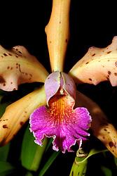 orchid flower, Hawaii Tropical Botanical Garden, Hilo, Big Island, Hawaii