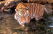 The Bengal tiger, also known as the Royal Bengal tiger, is a tiger from a specific population of the Panthera tigris tigris subspecies that is native to the Indian subcontinent. It is threatened by poaching, loss, and fragmentation of habitat,