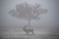 © Licensed to London News Pictures. 08/11/2019. London, UK. A deer stag grazing in a frost and fog covered landscape at Richmond Park in west London on a bright Autumn morning. Parts of the north of England have experienced severe flooding following torrential rainfall. Photo credit: Ben Cawthra/LNP