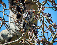 Yellow-bellied Sapsucker. Rocky Mountain National Park. Image taken with a Nikon D300  camera and 80-400 mm VR lens