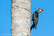 A Pileated Woodpecker, Dryocopus pileatus, pecks a palm tree in Everglades National Park in South Florida.
