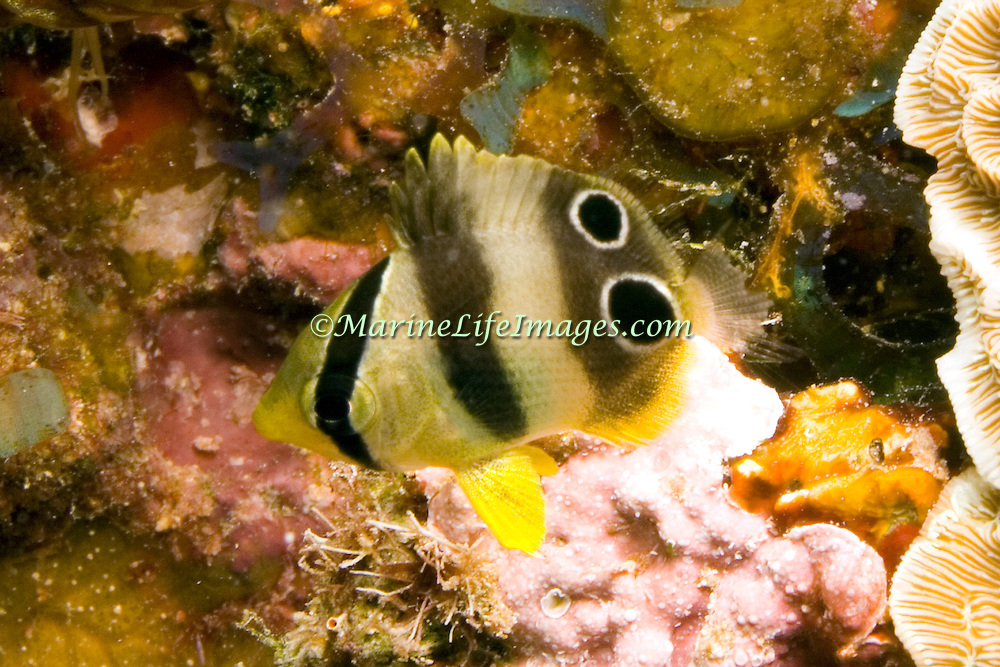 Foureye Butterflyfish flit about reef tops, often in pairs in Tropical West Atlantic; picture taken  Little Cayman.
