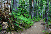 The forest along Fryingpan Trail.