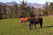 Horses grazes in a field in Aghadoe, Killarney.<br /> Photo Don MacMonagle<br /> e: info@macmonagle.com