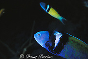 bluehead wrasse, terminal male phase or supermale,<br /> Thalassoma bifasciatum<br /> Grand Cayman Island ( Caribbean Sea )