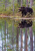 Brown Bear (Ursus arctos) at a lake in eastern Finland.