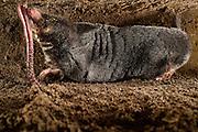 [captive] European Mole (Talpa europaea) has caught a worm in its subterranean burrow. Kiel, Germany | In seinem unterirdischen Gang hat ein Maulwurf (Talpa europaea) einen Regenwurm erbeutet. Kiel, Germany