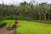 A woman is collection rice seedlings from a nursery to bring them into the rice paddy to plant them. Rice, like millet, is part of Nepalese stable foods. In the back ground is a filed of maze, also an important part of the Nepalese diet.
