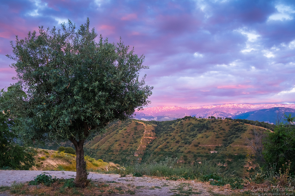 olive tree and mountains.