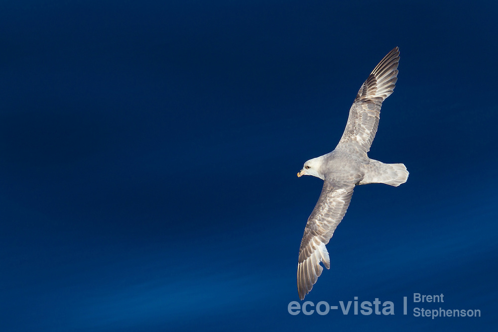 A Northern fulmar (Fulmarus glacialis) glides over the surface of a calm deep blue sea in the Arctic. Off Isfjorden, Svalbard, North Atlantic. June.