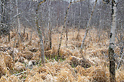 The first green shoots coming up through last fall's dead grasses in a lightly forested wetland, Maine