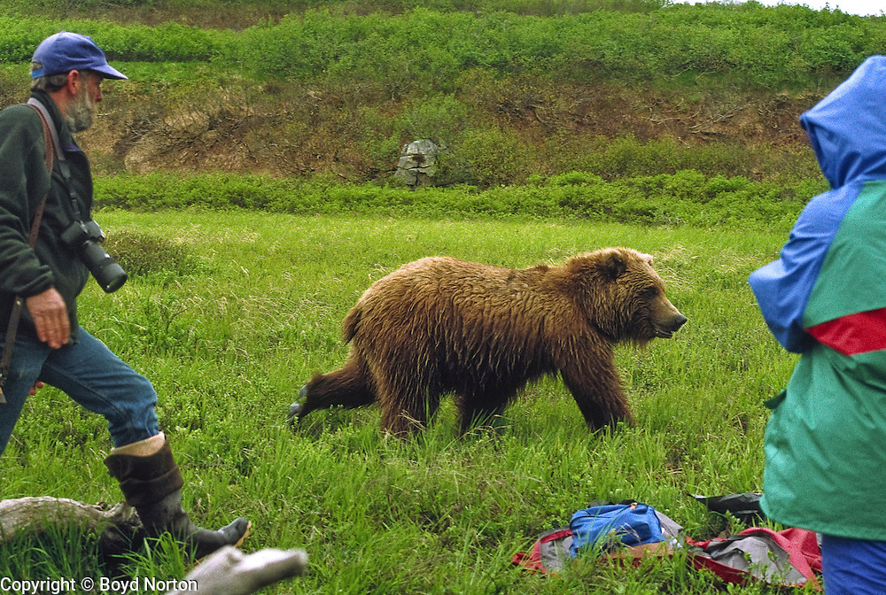 Grizzly bear (brown bear), McNeil River State Game Sanctuary, Kamishak Bay, Alaska. Endangered species. Rafuge manager chases young grizzly getting too close to visitors.