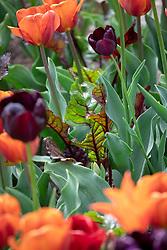 Beetroot 'Bulls Blood' growing amongst tulips