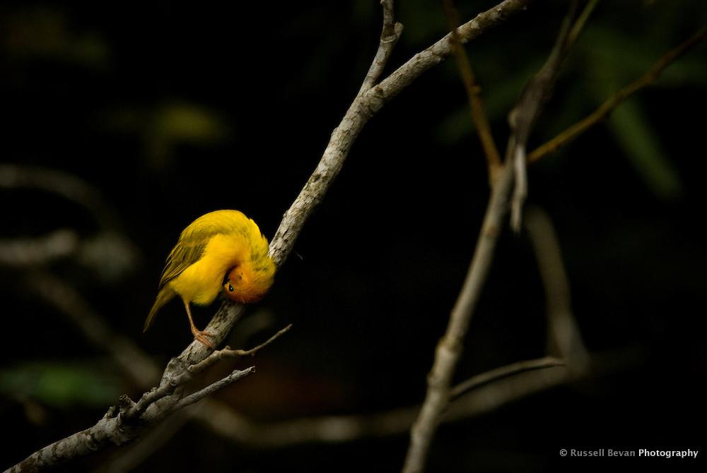 A Golden Weaver Bird in Mombasa, Kenya