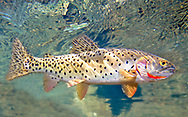 Bonneville Cutthroat Trout<br /> <br /> Patrick Clayton/Engbretson Underwater Photography