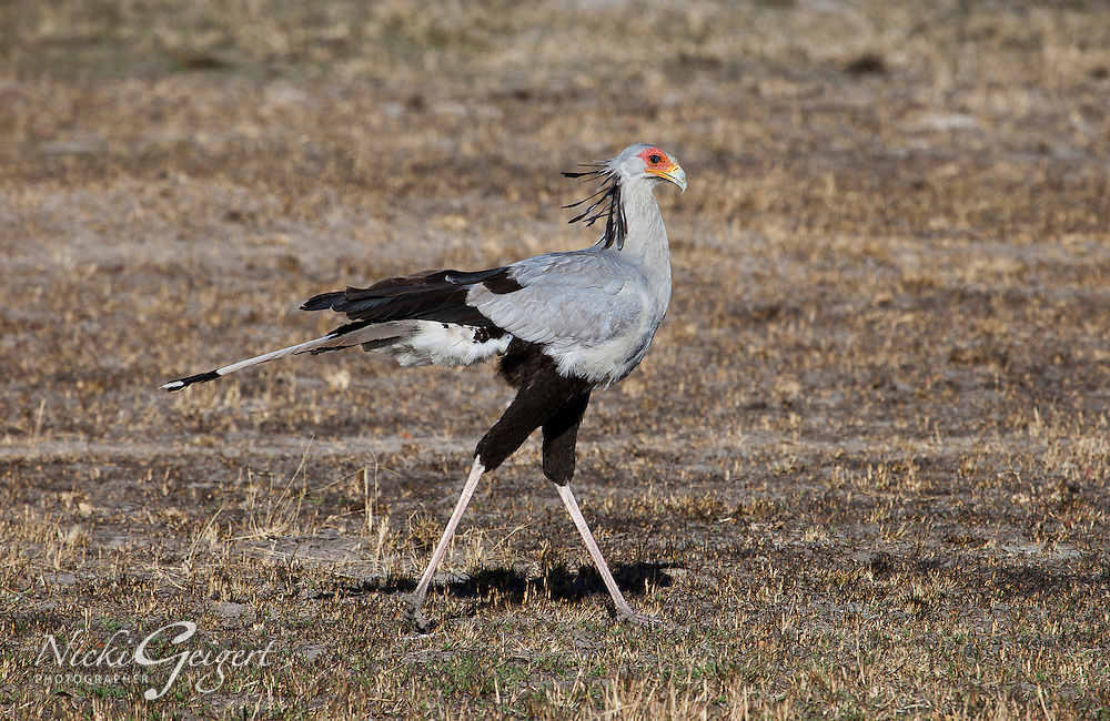 Secretary bird stalking prey on African plains. Wildlife photography, fine art photography prints, nature photography wall art.