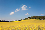 Field of bright yellow rapeseed in flower (canola) under a blue sky overlooked by a solitary house in woodland. Seven Springs, Gloucestershire, England. Rapeseed (Brassica napus), also known as rape, oilseed rape, rapa, rappi, rapaseed and (in the case of one particular group of cultivars, canola). Rapeseed is grown for the production of animal feed, vegetable oil for human consumption, and biodiesel