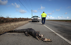 13 September 2012. Plaquemines Parish, Louisiana,  USA. .An Entergy technician inspects a dead alligator on Highway 23 after hurricane Isaac pushed through two weeks ago..Photo; Charlie Varley.