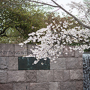 The annual flowering of the cherry blossoms in Washington DC at the Franklin Delano Roosevelt Memorial on the banks of the Tidal Basin.